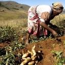 El Niño reduz perspectivas da produção agrícola na África